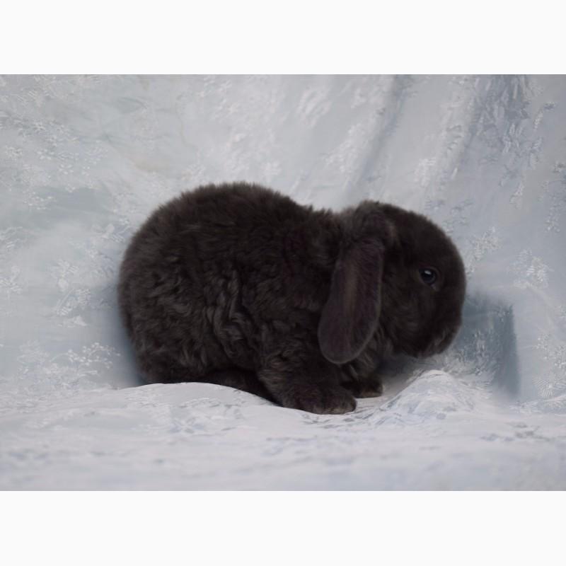 Фото 2/7. Домашние карликовые кролики Рекс. Питомник карликовых кроликов Зайкина усадьба в Москве