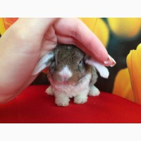 Домашние карликовые кролики Рекс. Питомник карликовых кроликов Зайкина усадьба в Москве