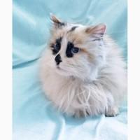 Шарлотта котенок-девочка породы рэгдолл ищет дом