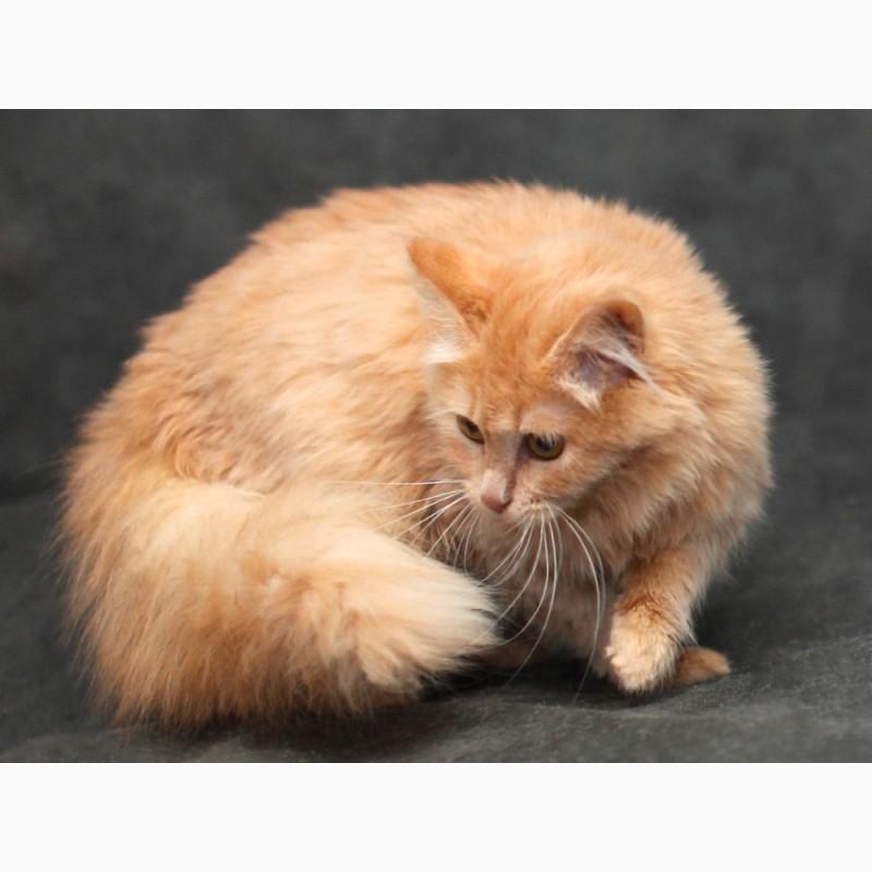 Фото 2. Сибирский котик