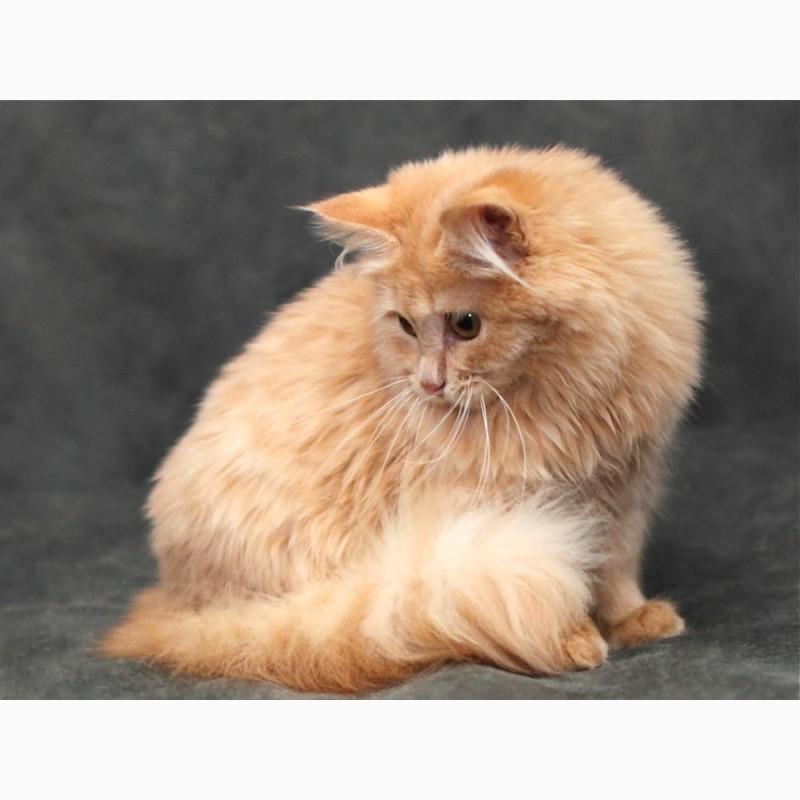 Фото 3. Сибирский котик