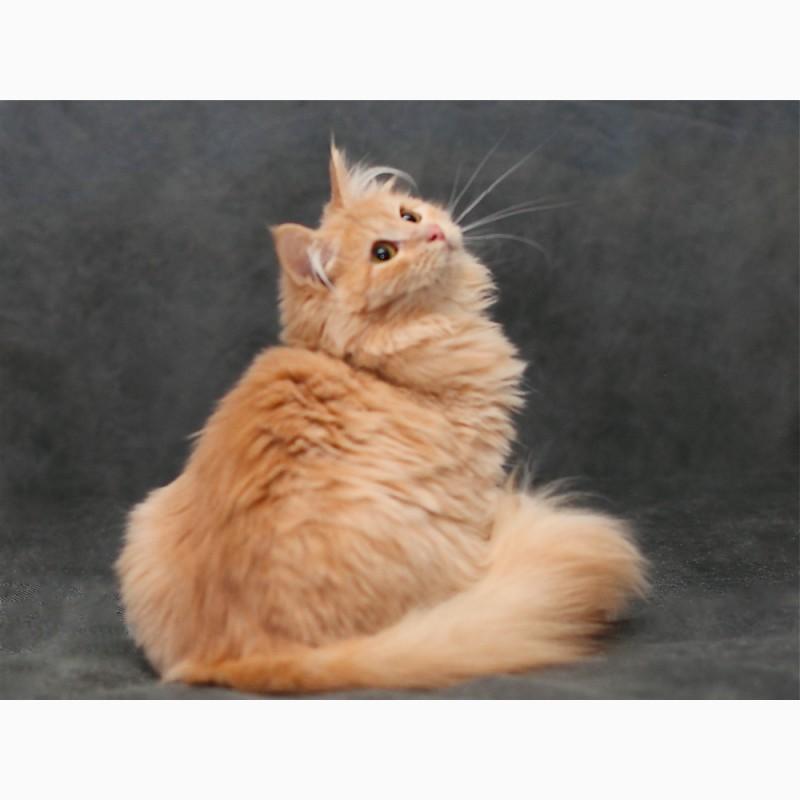 Фото 4. Сибирский котик