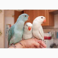 Ожереловый попугай голубой, птенцы выкормыши 2мес
