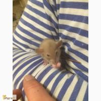 Продам крысят дамбо