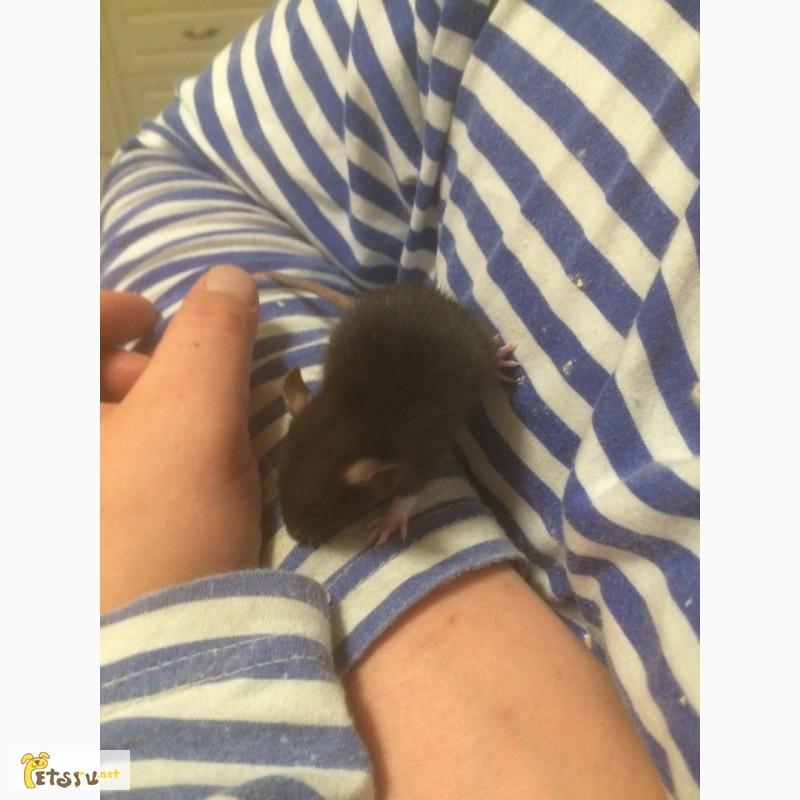 Фото 2/2. Продам крысят дамбо