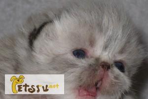 Фото 1/1. Гималайские котята в Химках