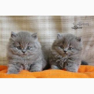 Купить британскую длинношерстную кошку в Москве