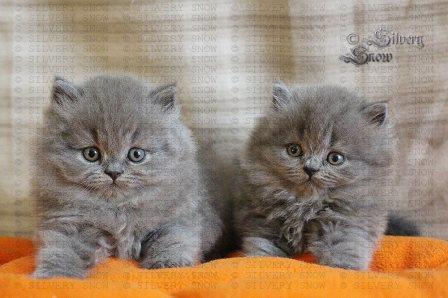 Фото 1/3. Купить британскую длинношерстную кошку в Москве