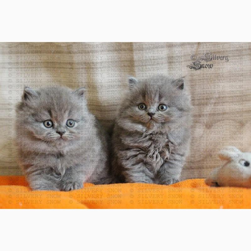 Фото 2/3. Купить британскую длинношерстную кошку в Москве