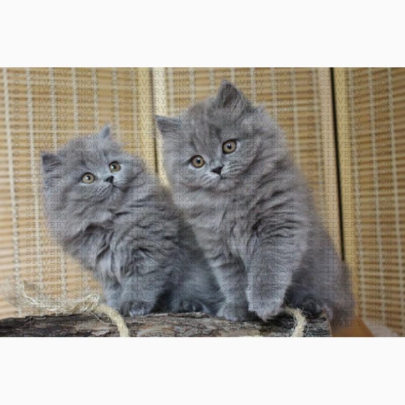 Фото 3/3. Купить британскую длинношерстную кошку в Москве