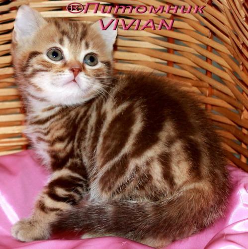 Фото 3/4. Британские котята из питомника
