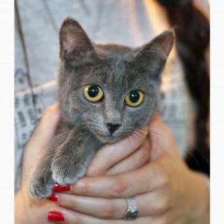 Котенок в платиновой шубке Мара в дар