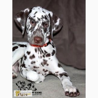 Продается прекрасный щенок далматина с документами