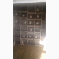Продам голубей Бакинских безхохлые, голоногие