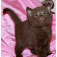 Британские шоколадные котята из питомника