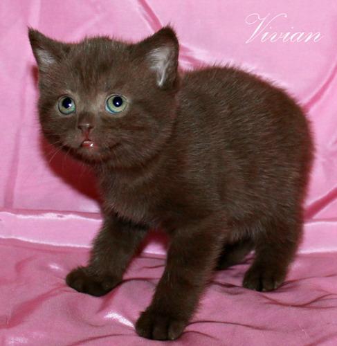 Фото 2/2. Британские шоколадные котята из питомника