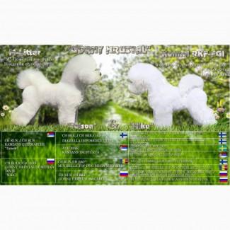Белоснежные щенки Бишон Фризе от Чемпионов