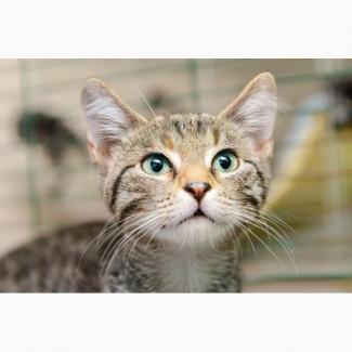 Полосатое очарование котёнок Гретта в дар