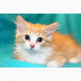 Котенок Пухля – ушастая радость в поисках дома