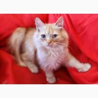 Рыженький котенок Фокс ищет дом