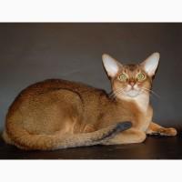 Абиссинский кот ищет дом