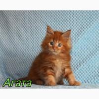 Мейн-Кун котенок Агата