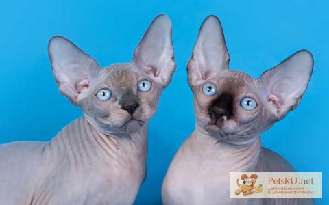 Фото 1/5. Элитные котята сфинкс.