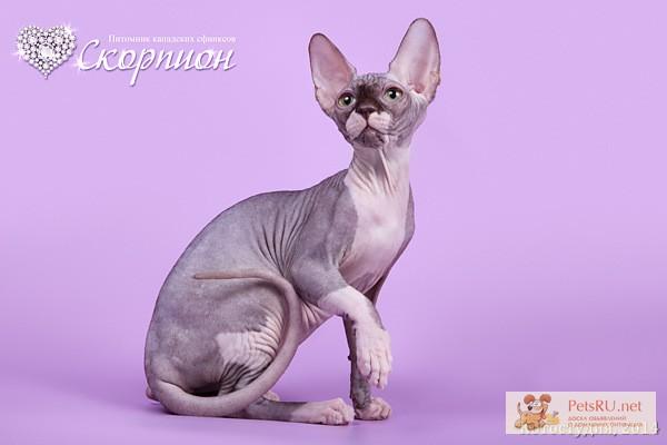 Фото 3/5. Элитные котята сфинкс.