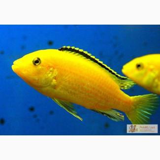 Рыба цихлида елоу в Омске