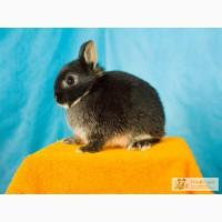 Карликовый кролик породы минор взрослый будет весить около 1 кг