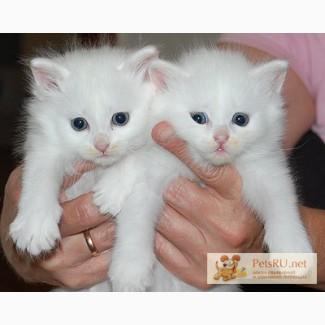 Ангорские котята в добрые руки 2 мес