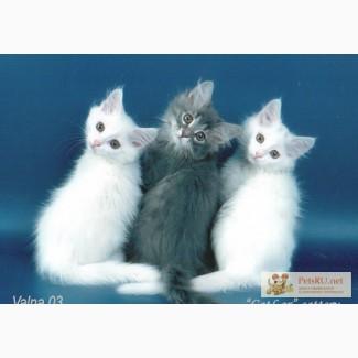 Отдам пушистых ангорских котят в ЛК в Ленинске-Кузнецком