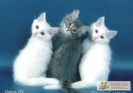 Фото 1/1. Отдам пушистых ангорских котят в ЛК в Ленинске-Кузнецком