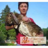 Кролики племенные, мясные французский баран, фландр