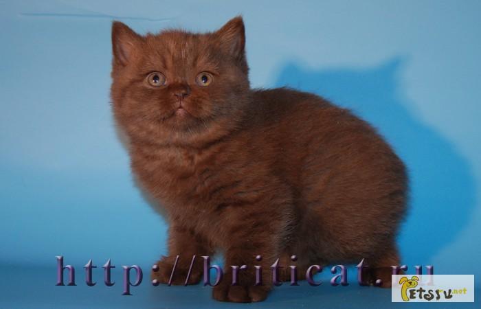 Фото 1/1. Британские шоколадные котята