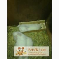 Калифорнийские кролики, Узловая