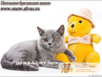 Фото 1/1. Британские голубые котята из Москвы(доставка)