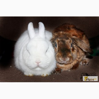 Продаются кролики декоратвные карликовые