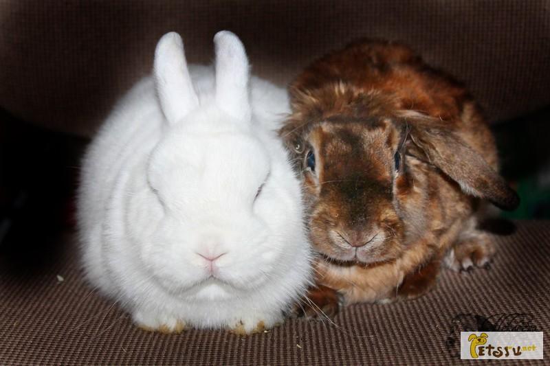 Фото 1/1. Продаются кролики декоратвные карликовые
