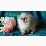 Персидская голубоглазая малышка