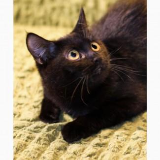 Котенок Персиянка черненькая принцесса в дар