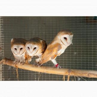 Сова сипуха - птенцы выкормыши