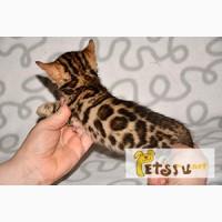 Бенгальские котята розетка на золоте в Москве
