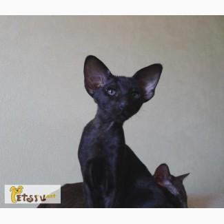 Ориентальные котята черного и шоколадного окраса