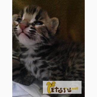 Котята Азиатской леопардовой кошки