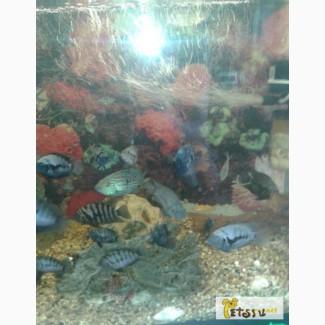 Рыбки Цихлиды в Братске