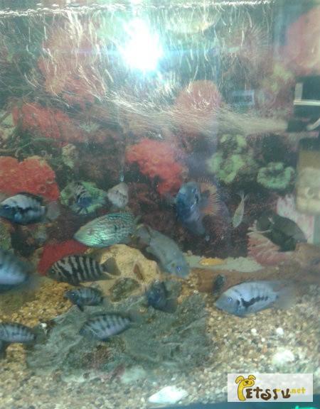 Фото 1/1. Рыбки Цихлиды в Братске