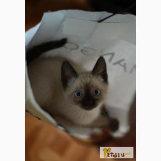 Котик сиамской породы 1, 5 месяца в Саратове