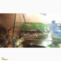 Водные черепахи в добрые руки