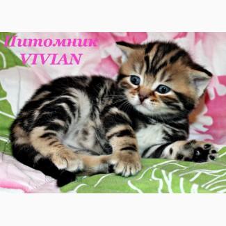 Британские котята черный мрамор из питомника